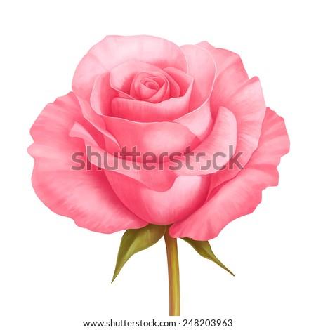 Rose pink flower decorative illustration isolated on white background - stock photo