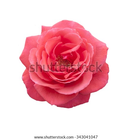 Rose pink flowers - stock photo