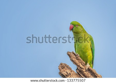 Rose-ringed Parakeet, Psittacula krameri, perched on a tree branch, nature, copy space - stock photo
