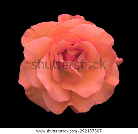 Rose rose flower macro isolated on black - stock photo