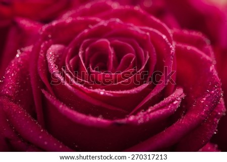 Rose. Rose with water drops. Macro shot with shallow depth of field. Color toned image. - stock photo