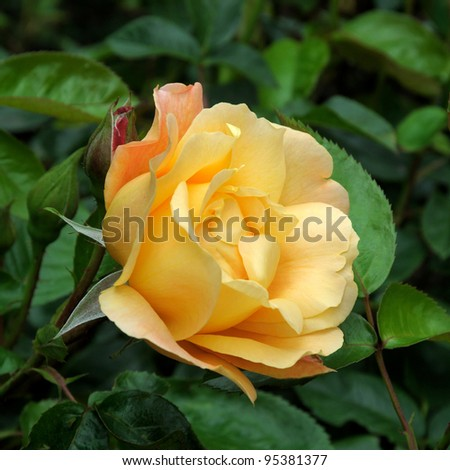 ROSE- SOUTHAMPTON - stock photo