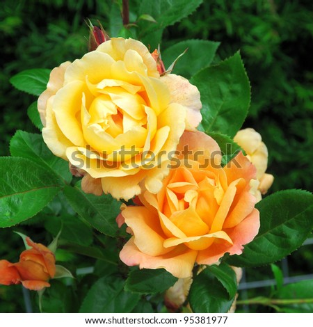 ROSE-SOUTHAMPTON - stock photo
