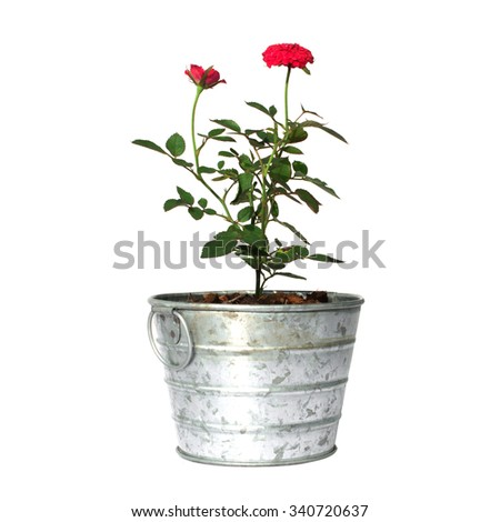 rose tree in pot isolated on white - stock photo