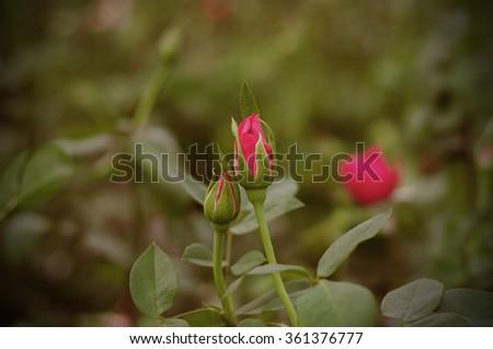 Rose, Vintage - stock photo