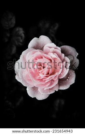 Rose Vintage Flowers In warm tones - stock photo