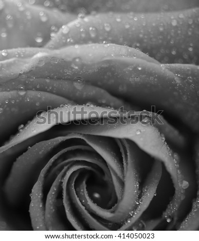 Rose with petals, macro closeup, shallow depth of field, monochrome converted - stock photo