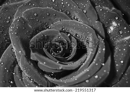Rose with water drops. Macro shot with shallow depth of field. Black and white version. - stock photo