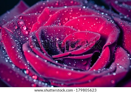 Rose with water drops. Macro shot with shallow depth of field. Color toned image.  - stock photo