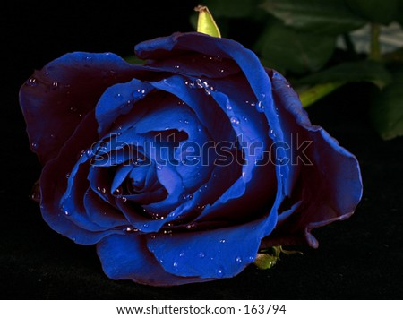 rose with water drops (Other colors on my portfolio. Lose no time...) - stock photo
