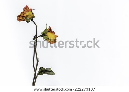 rose wither - stock photo