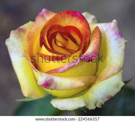 rose yellow blooms, photograph for Valentines Day - stock photo