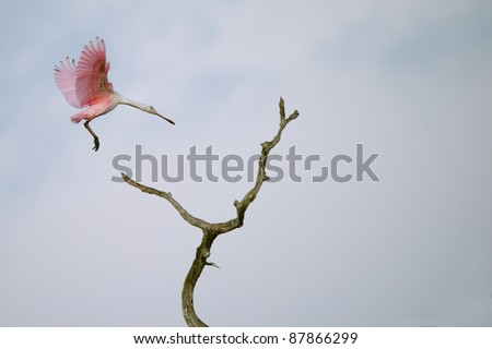 roseate spoonbill flying onto tree snag in florida wetland at dawn - stock photo