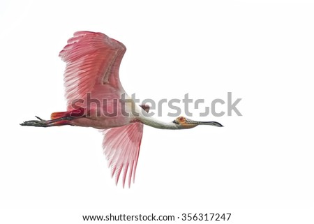 Roseate Spoonbill Isolated on White - stock photo
