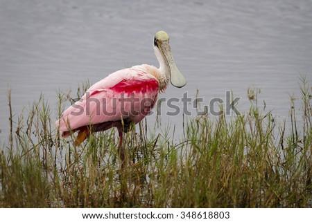 Roseate Spoonbill (Platalea ajaja) Wading in a Marsh - Merritt Island Wildlife Refuge, Florida - stock photo