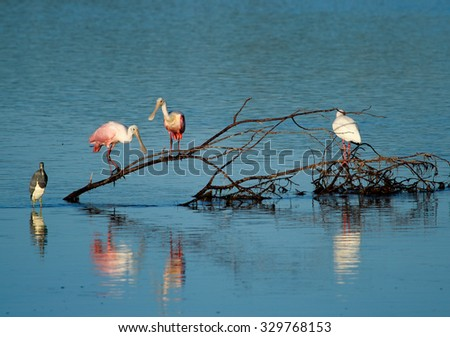 Roseate Spoonbills at Ding Darling National Wildlife Refuge - stock photo