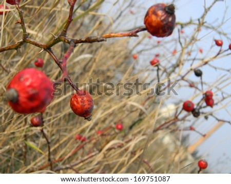 Rosehip berries in the autumn - stock photo