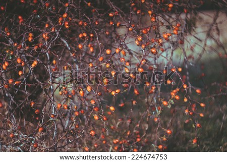 Rosehip berries on the twig, natural autumn vintage seasonal background - stock photo