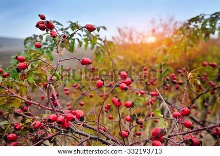 Rosehip bush on a nice autumn background at sunset - stock photo