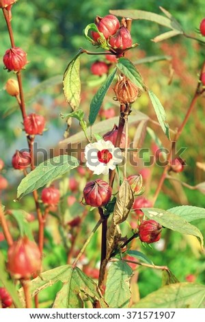 Rosella flower blooming - stock photo