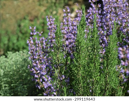 Rosemary and Sage in Herbal Garden - stock photo