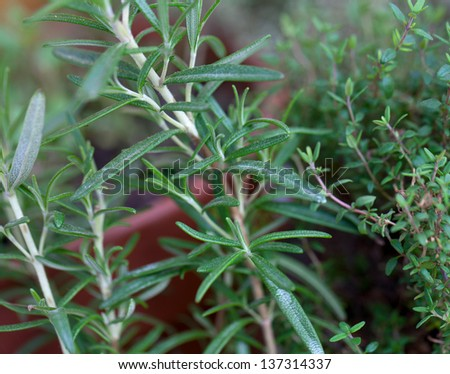 rosemary growing - stock photo