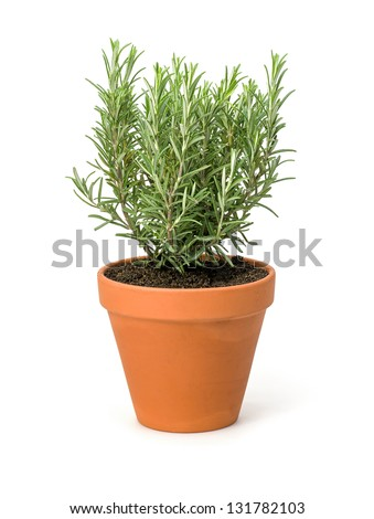 Rosemary in a clay pot - stock photo
