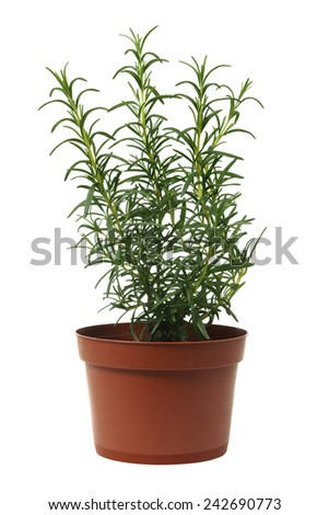 Rosemary in a pot isolated on white background - stock photo