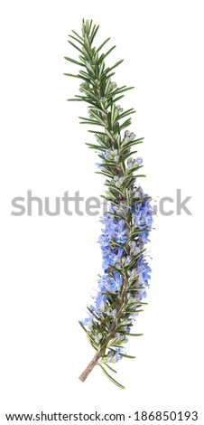 rosemary in flower isolated on white background - stock photo
