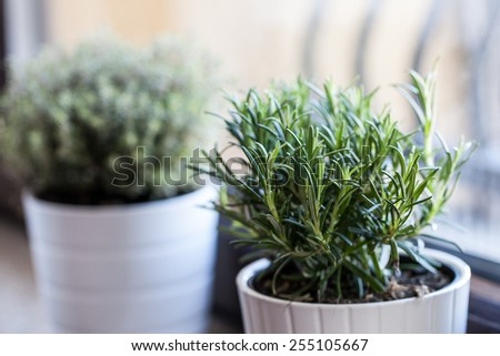Rosemary in white pot with other white pot herb as background - stock photo