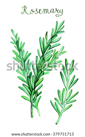 Rosemary sprouts watercolor painting. Hand drawn  illustration. - stock photo