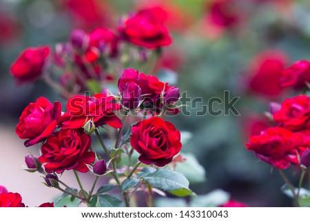 Roses 3 - stock photo