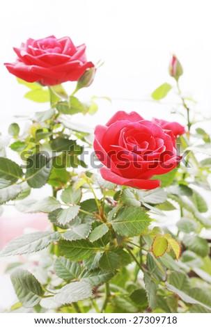 Roses bush - stock photo