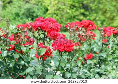 roses flower garden spring season - stock photo
