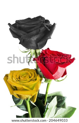 Roses in colors of german flag on white background - stock photo