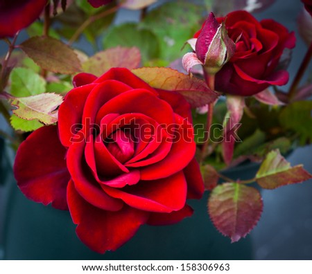 Roses in jug - stock photo