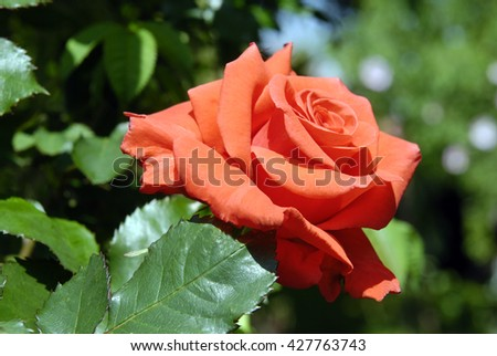 Roses in the city botanical garden. - stock photo