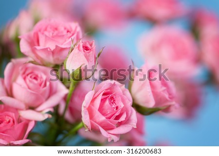 Roses on a blue background. Soft focus - stock photo