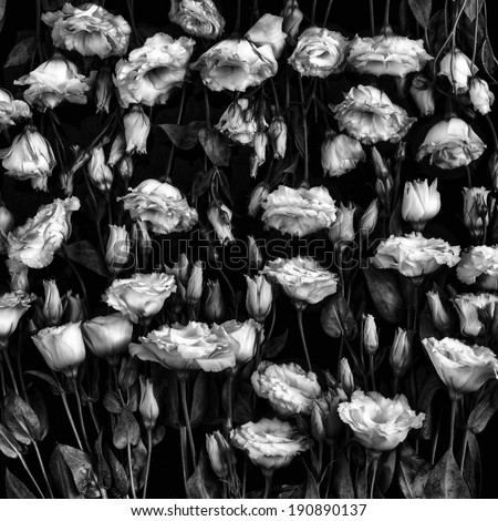 Roses on black background - stock photo