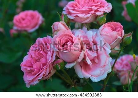 Roses. Pink flowers. Beautiful roses. - stock photo