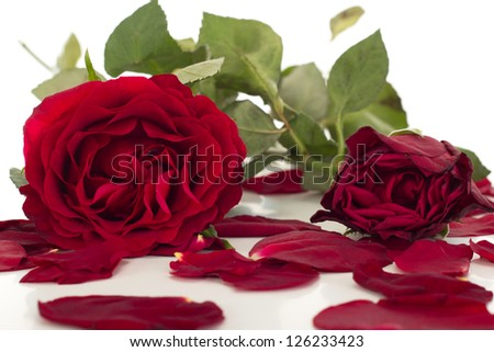 Roses with petals - stock photo