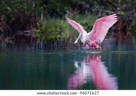 Rosette spoonbill in the Florida everglades - stock photo