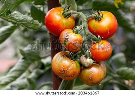 rotten old tomatorotten old tomato - stock photo