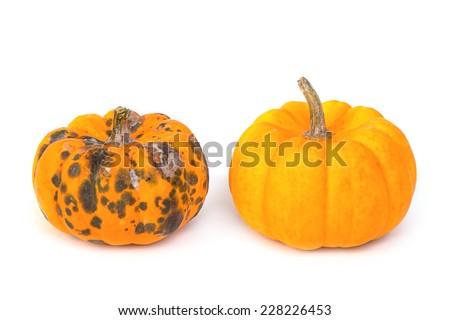 rotten  pumpkin and ripe  pumpkin - stock photo