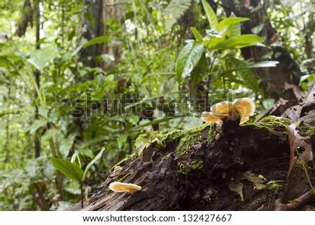 Rotting log with bracket fungi on the rainforest floor, Ecuador - stock photo