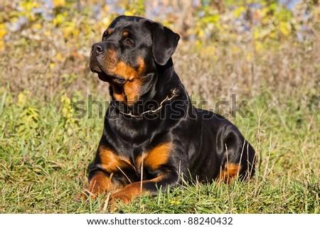 Rottweiler - stock photo