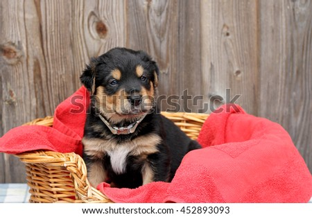 Rottweiler Alsatian mix puppy sitting in a basket - stock photo