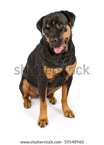 Rottweiler dog looking down and isolated on white - stock photo