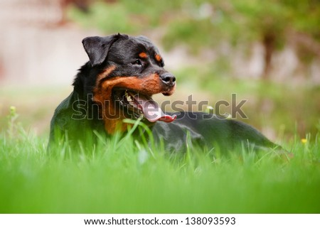 rottweiler dog resting on the grass - stock photo