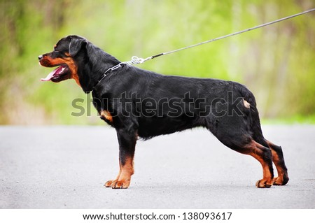 rottweiler dog standing - stock photo